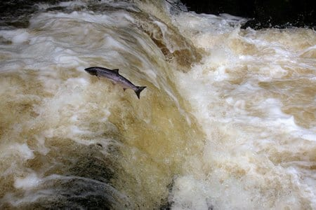 Half a century of tagging tracks Atlantic Salmon around the world