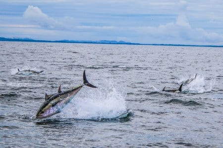 Angling vessels gathering data on the Bluefin Tuna